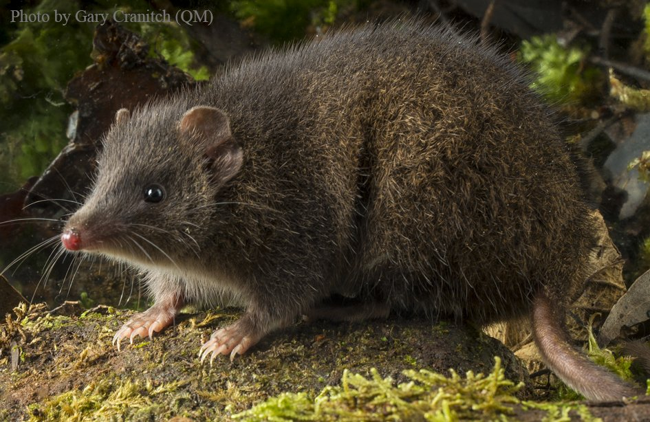 Scientists Find Two New Marsupial Species That Mate ...