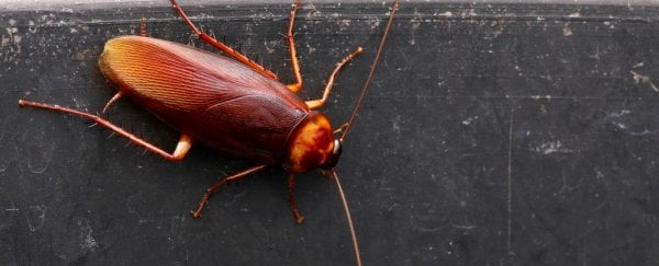 Scientists Think Cockroach Milk Could Be The Next Superfood