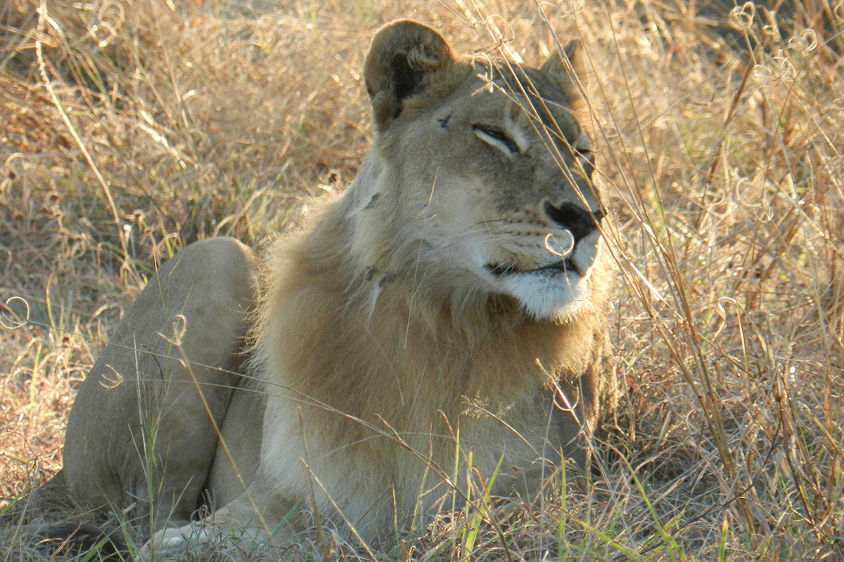 female-lion
