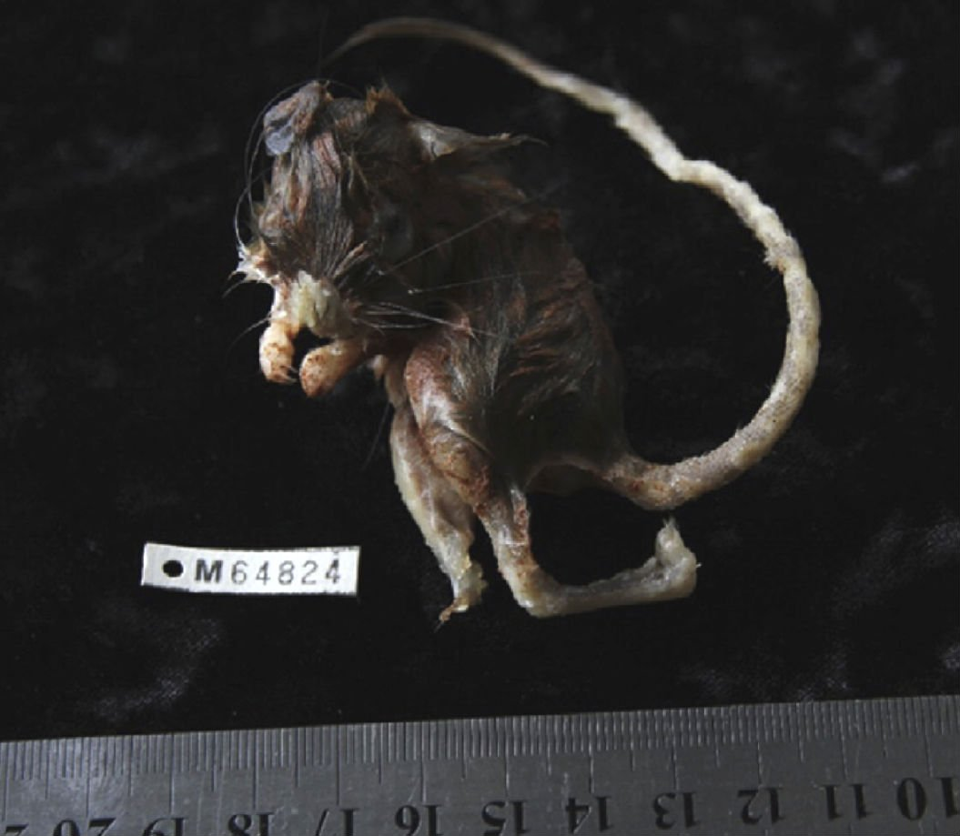 mouse-catfish