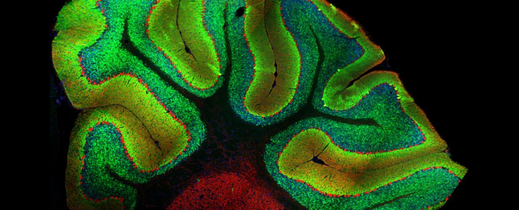 Neuroscientists Accidentally Discovered a Whole New Role For The Cerebellum