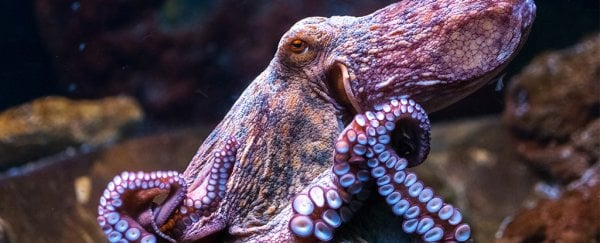 Octopus and squid evolution is officially weirder than we could have ever imagined