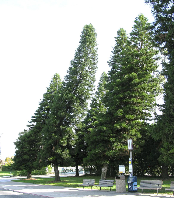 Cook pine University of California campus