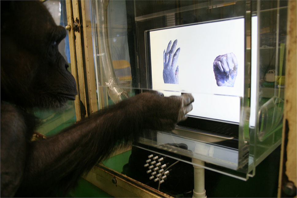 chimp rock paper scissors screen test