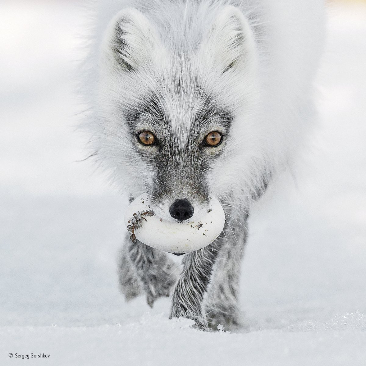 an arctic fox photographed on wrangel island in the arctic ocean managed to snatch a treasure from the nest of a snow goose its likely to bury the egg in the tundra where it will stay preserved
