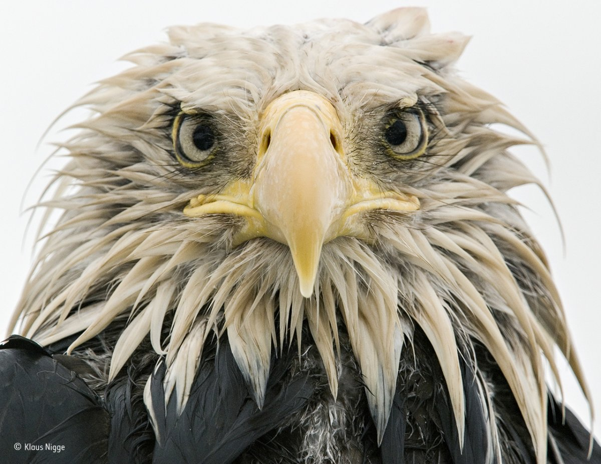 soaked through by days of constant rain this bald eagle was photographed at dutch harbor on amaknak island in alaska