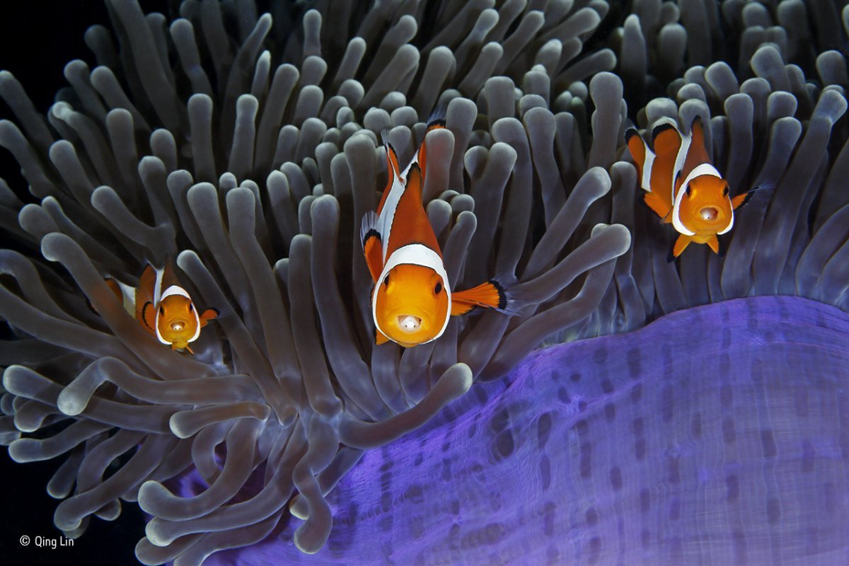 these clown anemonefish are protected by a stinging anemone in lembeh strait in north sulawesi indonesia peeping out from their mouths you can see a parasitic crustacean living inside them
