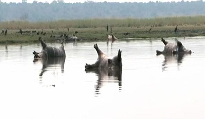 237 hippos 2