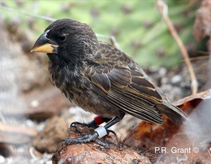 big bird finch galapagos new species