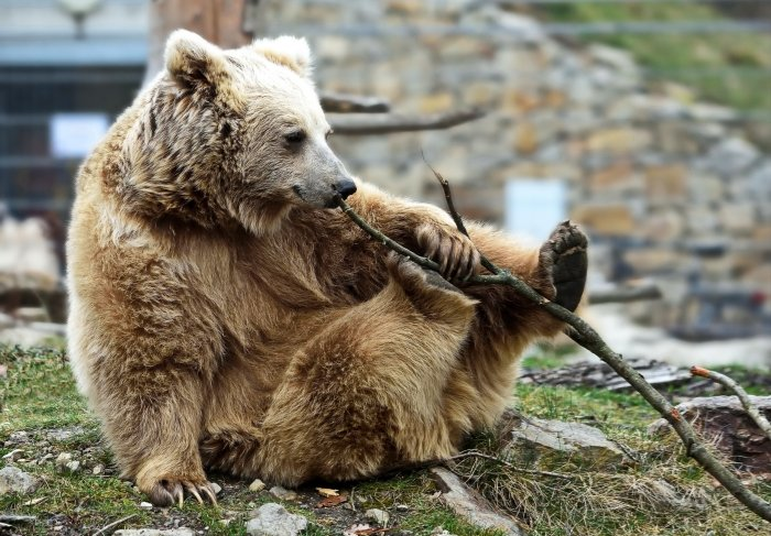 Latest DNA analysis shows the Yeti are actually just a ... Himalayan Brown Bear Yeti