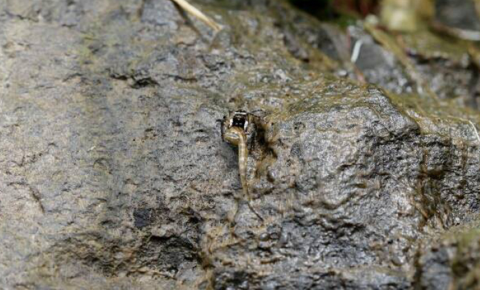 salticid and tadpole on rocks