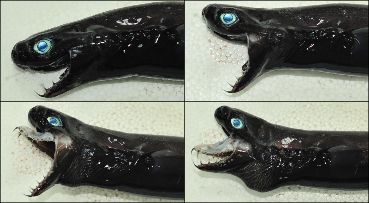 four viper head sharks