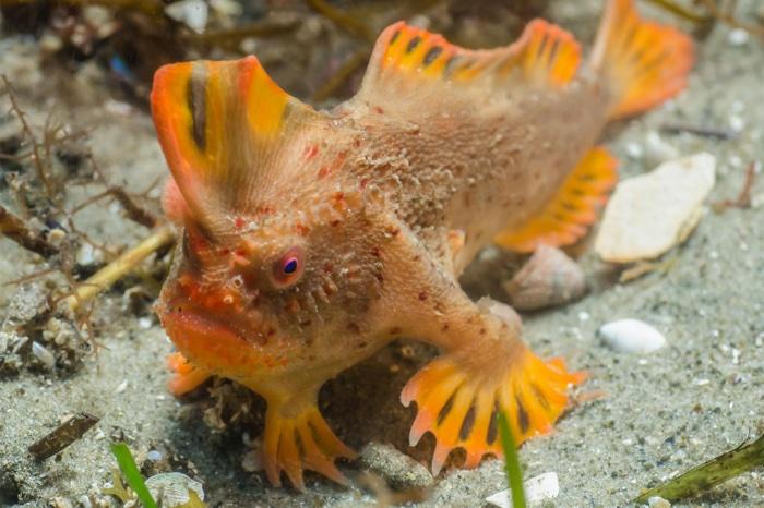 935 red handfish worlds rarest 3