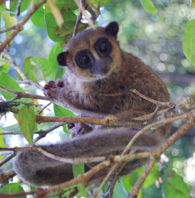 groves dwarf lemur body 2