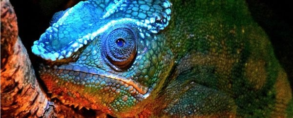Surprise! Chameleons have stunning facial patterns that glow under UV light