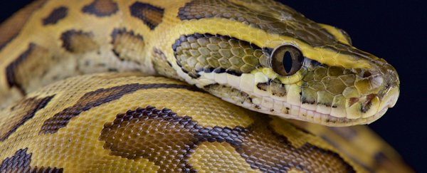 Mystery death of snake keeper ruled 'misadventure' with an overly cuddly python