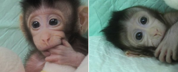 These Are The First-Ever Monkeys Cloned Using an Advanced Technique