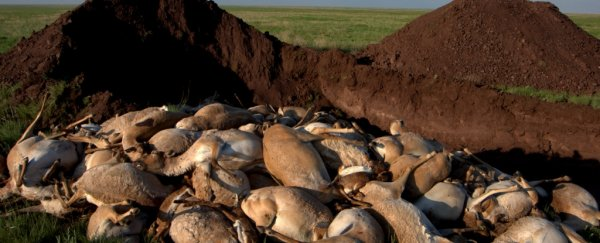 Here's why 200,000 endangered antelopes dropped dead in Kazakhstan