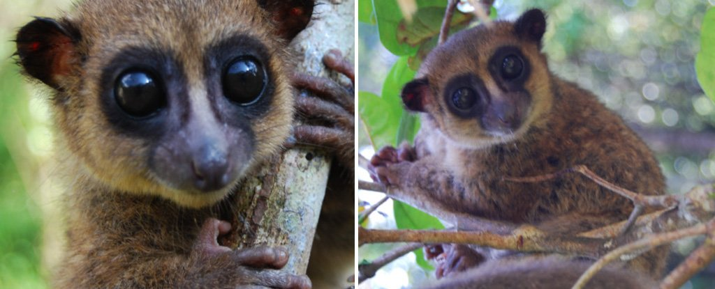 This Newly Discovered Tiny Lemur From Madagascar Is So Cute We Just Can't Deal