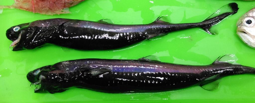 viper dogfish sharks