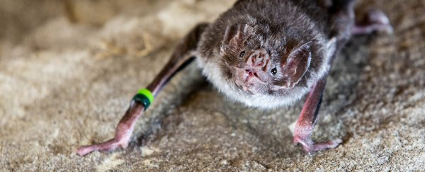 We finally know how vampire bats are able to drink blood and survive