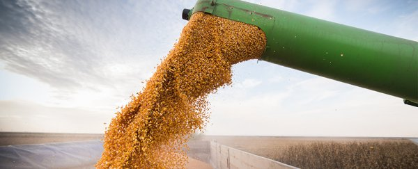 After two decades and 6,000 studies, scientists find GMO corn is actually good for you