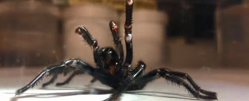 A Giant Specimen of World's Most Toxic Spider Was Caught ...