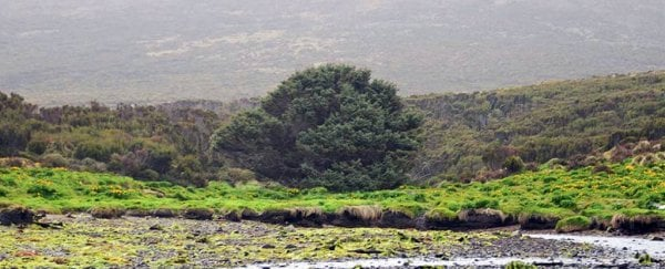 The world's loneliest tree could tell us the exact moment we started the Anthropocene