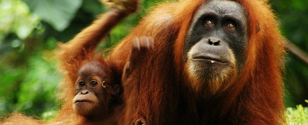 Researchers find more than 100,000 of Borneo's orangutans have been wiped out