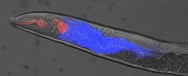 This discovery of bizarre dying mechanism in worms could help us cheat death