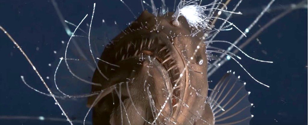 This incredibly rare deep sea video of mating anglerfish for Where do angler fish live