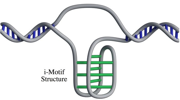 BREAKING: Scientists Have Confirmed a New DNA Structure Inside Human Cells  019-dna-i-motif-structure-living-cells-1