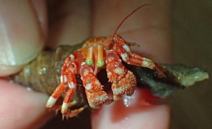 indian ocean hermit crab