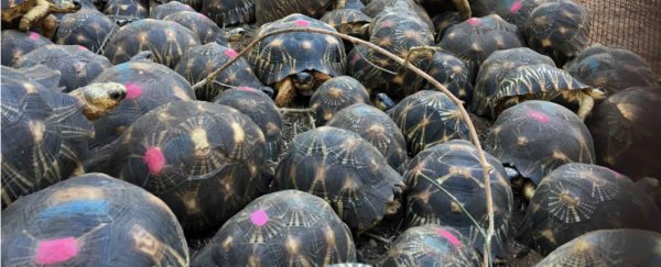10,000 endangered tortoises were found all over a poachers' house in Madagascar