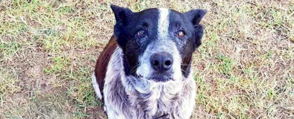 This deaf dog helped rescue a 3-year-old who got lost in the Australian bush