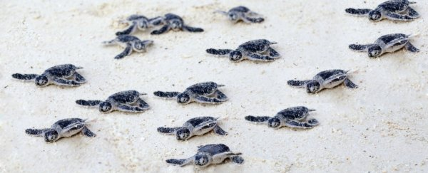 Scientists have discovered a fascinating link between magnetic fields and turtle nesting