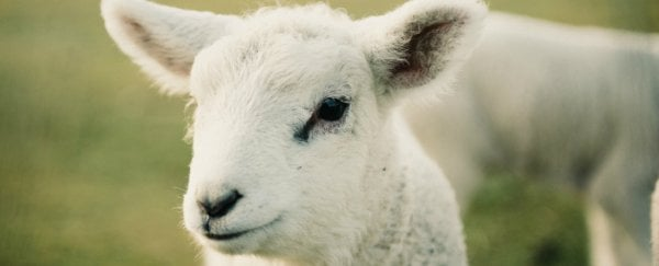 A serious autoimmune disease has been linked to sheep exposure