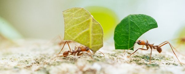 The chemical ants use to communicate might not be produced by ants