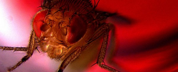 Even fruit flies love ejaculating, and turn to alcohol if they can't get laid