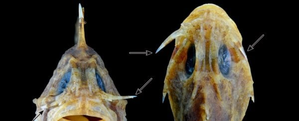 This terrifying venomous fish is armed with switchblades under its eyes