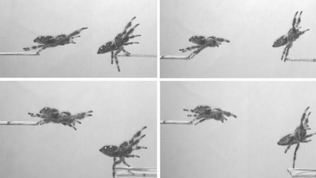 Scientists Trained a Spider to Jump on Command to Figure Out How Its Legs Work
