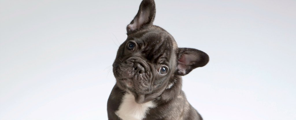 French Bulldogs' Cuteness Comes at a Steep Cost, Warn Vets