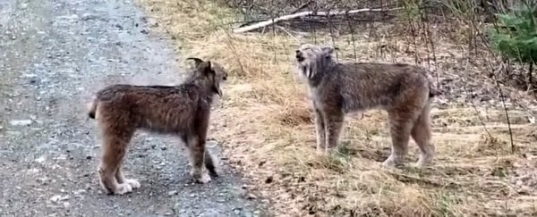 These lynx yelling at each other sound like people, and it's hilarious