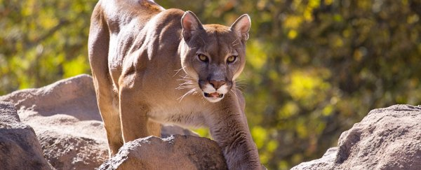"Experts say there was ""something wrong"" with the cougar who killed a Seattle cyclist"
