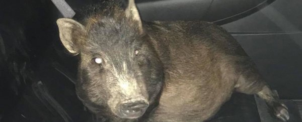 A man was stalked by a pig in the middle of the night, so he called the police