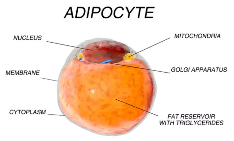 adipocyte diagram the conversation