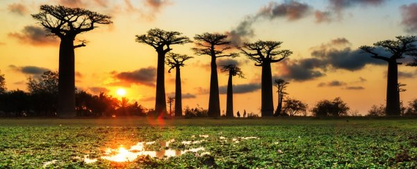 Africa's ancient 'trees of life' are suddenly dying, and scientists don't know why
