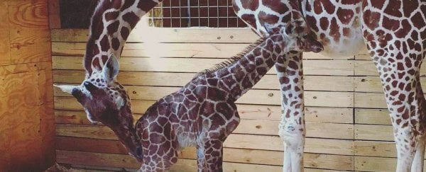 In happier news, April the giraffe might be pregnant again