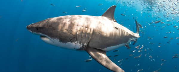 Great white sharks are uncannily attracted to these specific ocean features