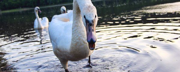 Gay Swans in Austria Attacked Humans to Protect Their